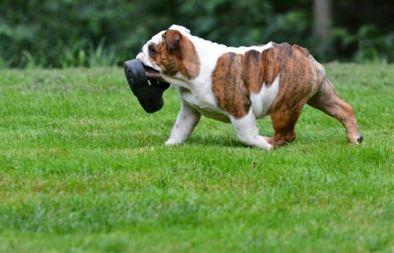 Valpsäkra trädgården bulldogg med sko